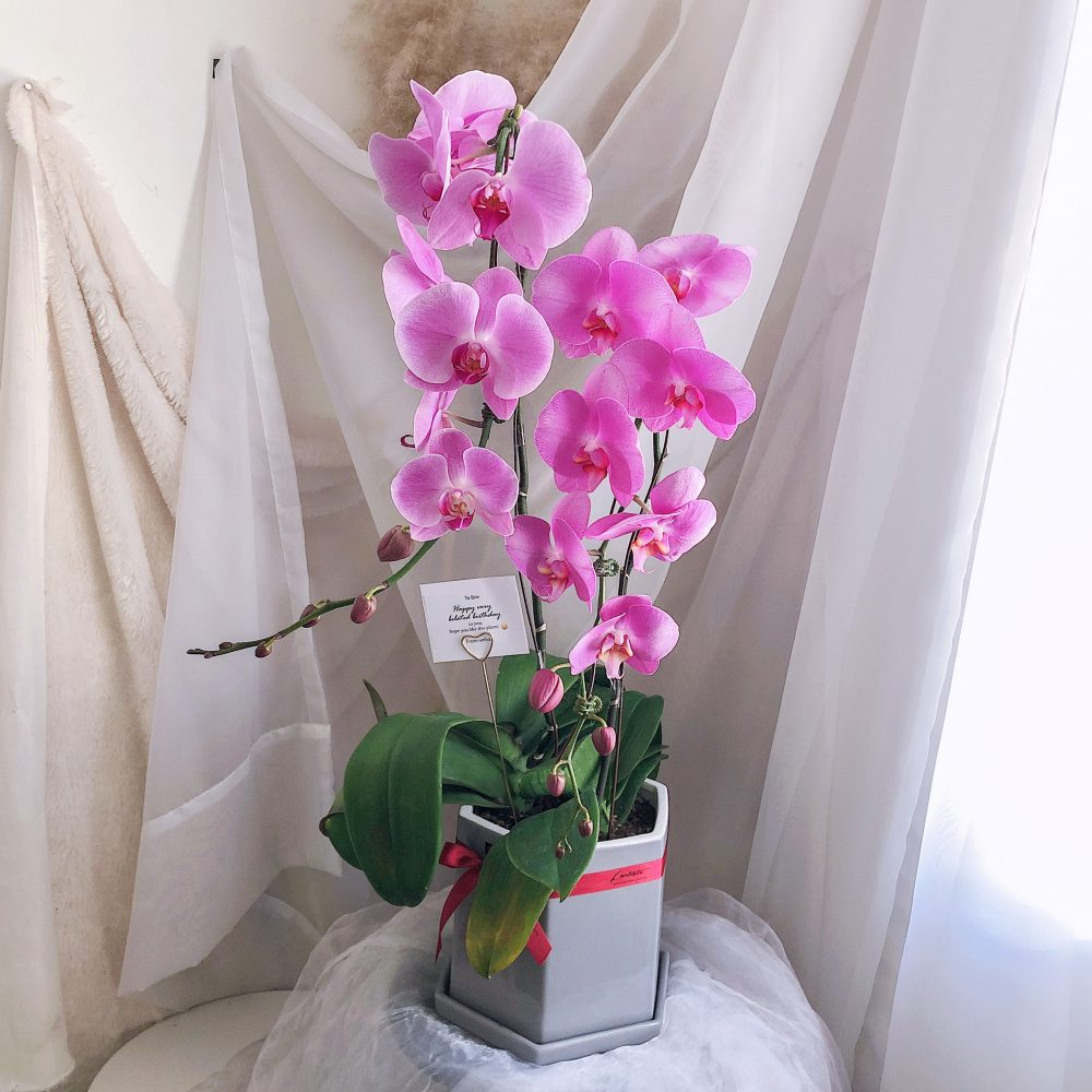 Imported Potted Orchid
